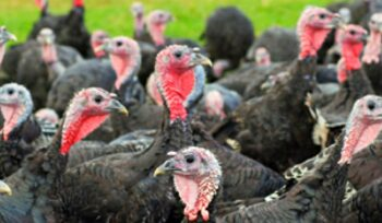 turkey farm and supply chain